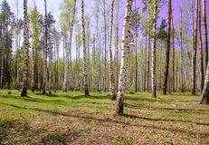 Небо волшебного яркого леса солнца весны красивое солнечное голубое Стоковое Фото