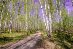 Небо волшебного яркого леса солнца весны красивое солнечное голубое Стоковые Фотографии RF