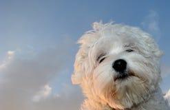 небо голубой милой собаки мальтийсное Стоковая Фотография
