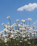 небо голубых маргариток Стоковое Изображение RF