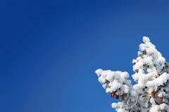 небо ели конусов предпосылки голубое Стоковое Изображение