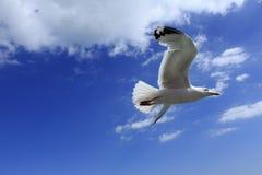 Небо летящей птицы голубое Стоковые Изображения RF
