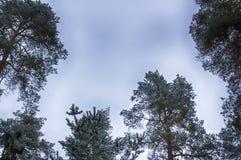 Небо зимы, верхние части дерева, рамка Снежк-покрытые ветви стоковое изображение