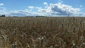 Небо и пшеничное поле Стоковая Фотография