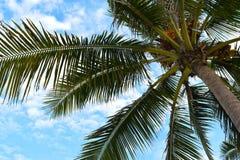 небо кокосов на vietnum Стоковая Фотография