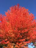 Небо красного дерева голубое стоковое изображение rf