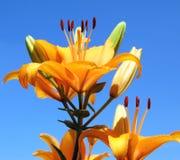небо лилии Стоковое Изображение