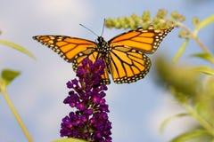небо монарха бабочки высокое Стоковая Фотография