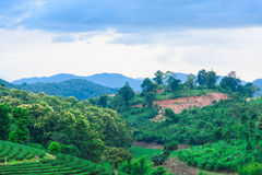 Небо дороги фермы чая голубое Стоковая Фотография