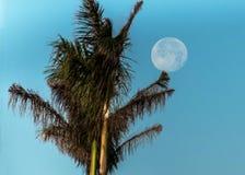 Небо пальмы полнолуния голубое Стоковое Изображение RF