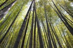 Небо перспективы лесных деревьев Японии бамбуковое Стоковые Изображения