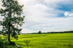 Небо поля дерева и риса стоковые изображения