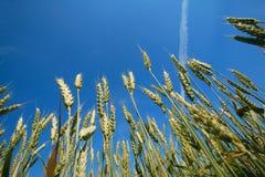 небо поля жолудя голубое стоковые фотографии rf