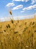 Небо пшеничного поля голубое Стоковое фото RF