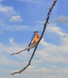 Небо синей птицы Стоковые Изображения