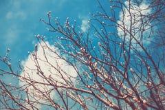 Небо солнечного дня бутонов деревьев весны голубое Стоковые Фото
