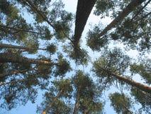 небо сосенки пущи Стоковое Фото