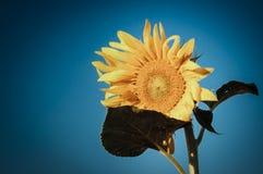 Небо солнцецвета Стоковые Изображения RF