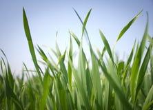небо травы Стоковая Фотография RF