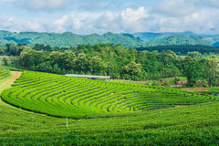 Небо фермы чая голубое Стоковые Фото