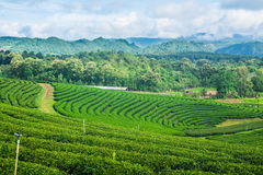 Небо фермы чая голубое Стоковые Изображения