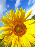 небо цветка солнечное Стоковое Изображение