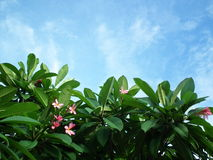Небо цветка Таиланд Стоковая Фотография
