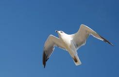небо чайки Стоковое фото RF