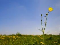 Небо agaist полевого цветка голубое Стоковая Фотография RF