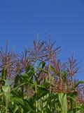 небо cornstalks Стоковое Изображение