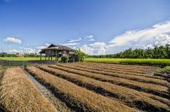Небо fields рис Стоковая Фотография