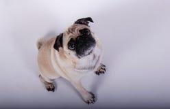 Невиновная собака мопса стоковое изображение rf