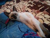 Невиновные глаза тайского кота стоковое фото