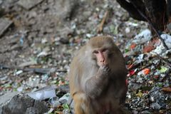Невиновные обезьяны Стоковая Фотография RF