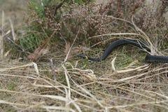 Невредные змейки в древесинах, змейка леса крупного плана Стоковая Фотография RF