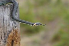 Невредные змейки в древесинах, змейка леса крупного плана Стоковое фото RF