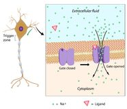 Неврон и местный потенциал иллюстрация вектора