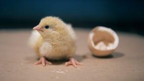 Недавно рожденный цыпленок сидит около сломленного eggshell акции видеоматериалы