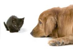 неделя retriever золотистого котенка 6 старая Стоковые Изображения