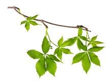 Нежная ветвь виноградин Стоковое Изображение RF
