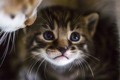 Нежная влюбленность: мама и котенок кота Милый маленький striped котенок с портретом макроса голубых глазов Стоковое фото RF