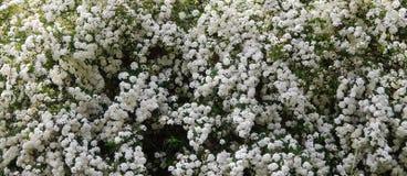 Нежная предпосылка белых цветков Стоковое Изображение RF