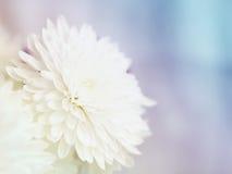 Нежная предпосылка с цветками белых хризантем Стоковые Изображения