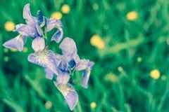 Нежная радужка цветет на глубокой ой-зелен предпосылке травы Стоковое Фото