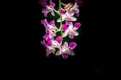 Нежная розовая орхидея на темной предпосылке стоковое фото