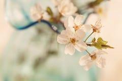 Нежная цветя ветвь вишни Стоковое Изображение