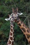 Нежное ухаживание 2 жирафов стоковое фото rf