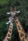 Нежное ухаживание 2 жирафов стоковые изображения rf
