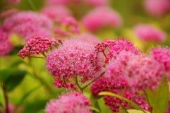 Нежное цветя spirea пинка кустарника стоковое фото rf