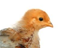 нежность детали цыпленока пушистая стоковая фотография rf